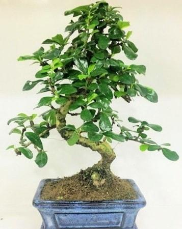 Zelkova S gövdeli Minyatür ağaç Bonzai  Bitlis çiçek gönderme