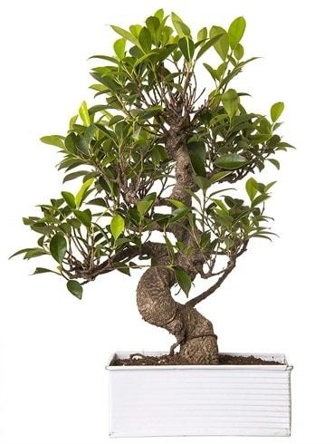 Exotic Green S Gövde 6 Year Ficus Bonsai  Bitlis çiçek gönderme sitemiz güvenlidir