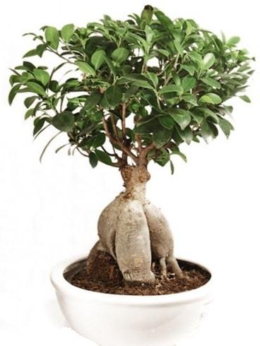 Ginseng bonsai japon ağacı ficus ginseng  Bitlis İnternetten çiçek siparişi